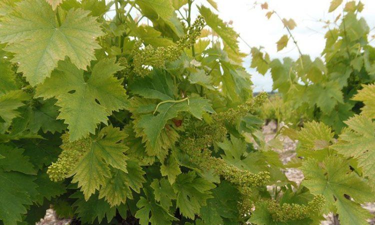 Vignoble Muscat en fleur